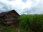 Nipa-Hütte im Zuckerrohr, Hacienda Victoria